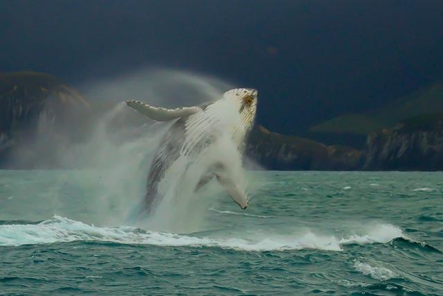 braching whale